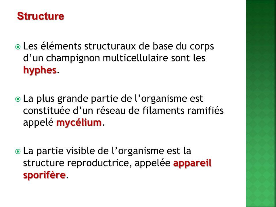 Structure Les éléments structuraux de base du corps d'un champignon multicellulaire sont les hyphes.