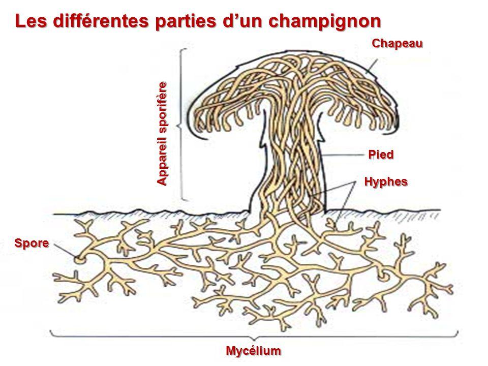 Les différentes parties d'un champignon