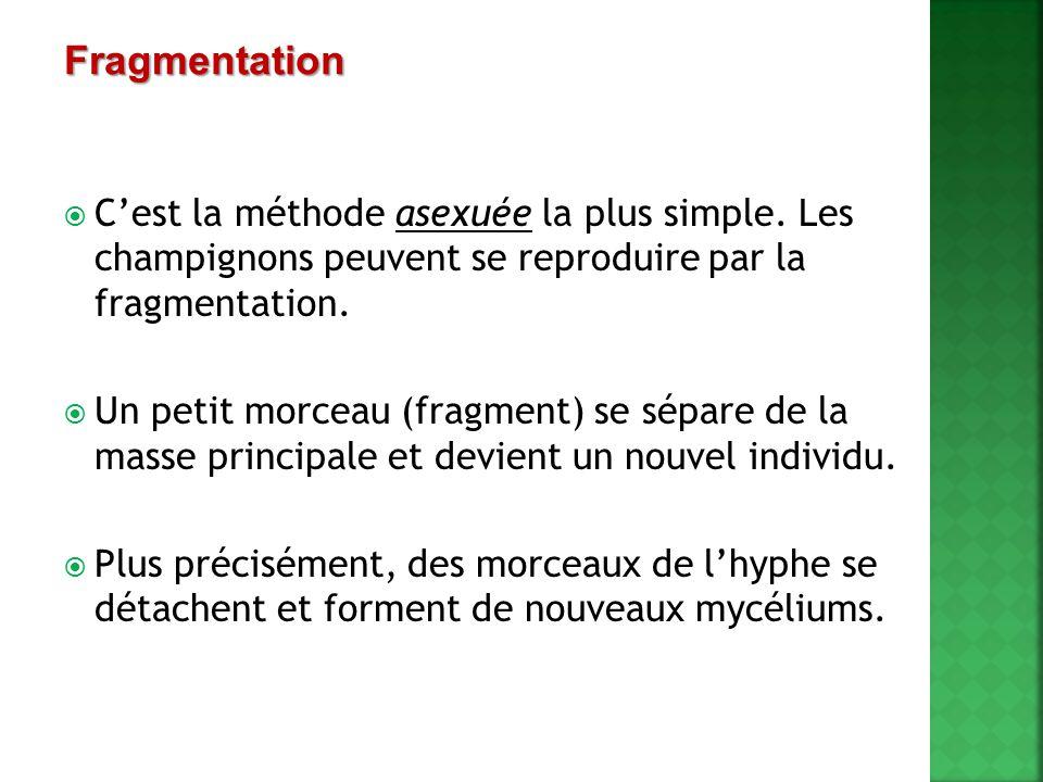 Fragmentation C'est la méthode asexuée la plus simple. Les champignons peuvent se reproduire par la fragmentation.