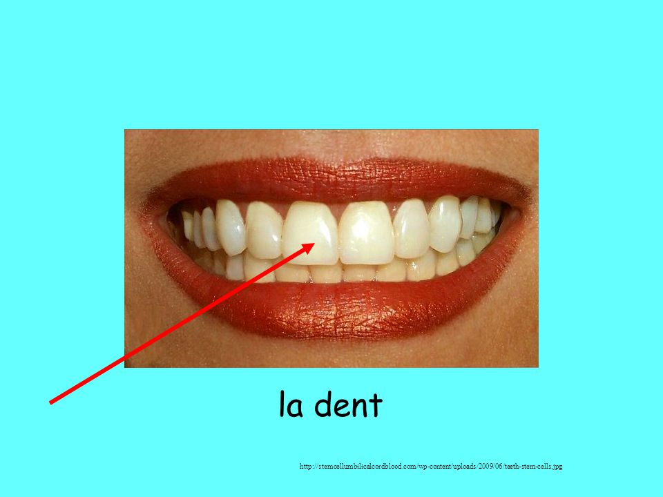 la dent http://stemcellumbilicalcordblood.com/wp-content/uploads/2009/06/teeth-stem-cells.jpg