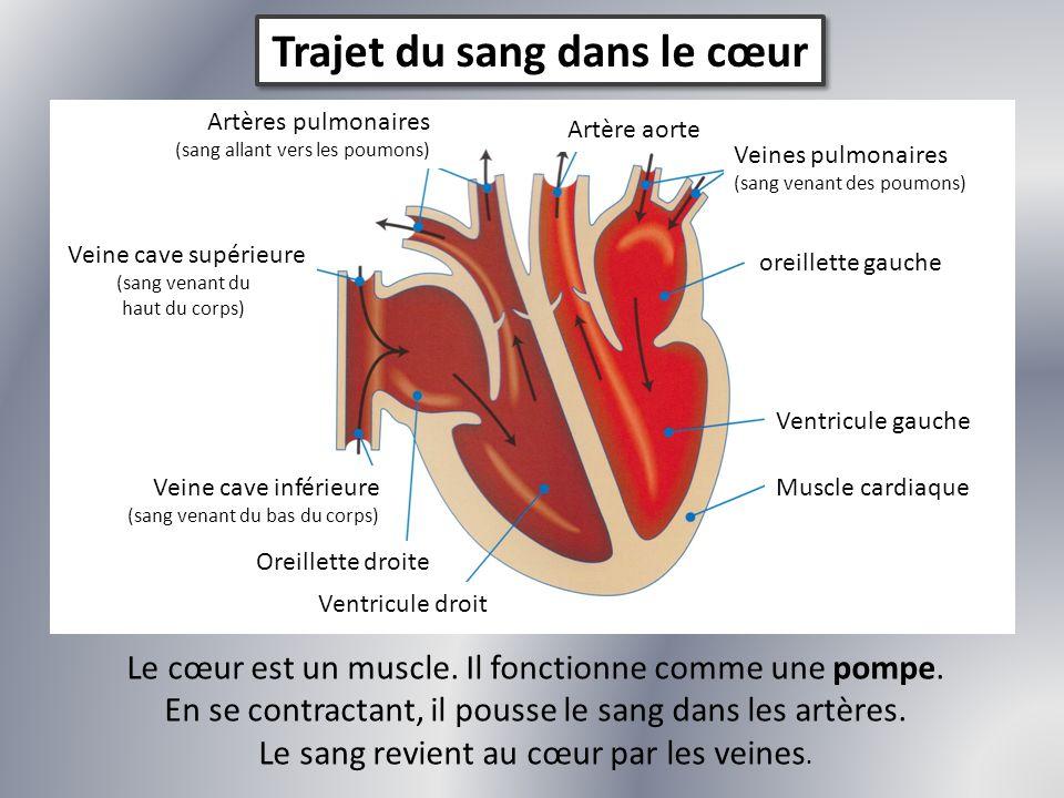 Trajet du sang dans le cœur