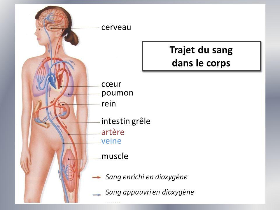 Trajet du sang dans le corps