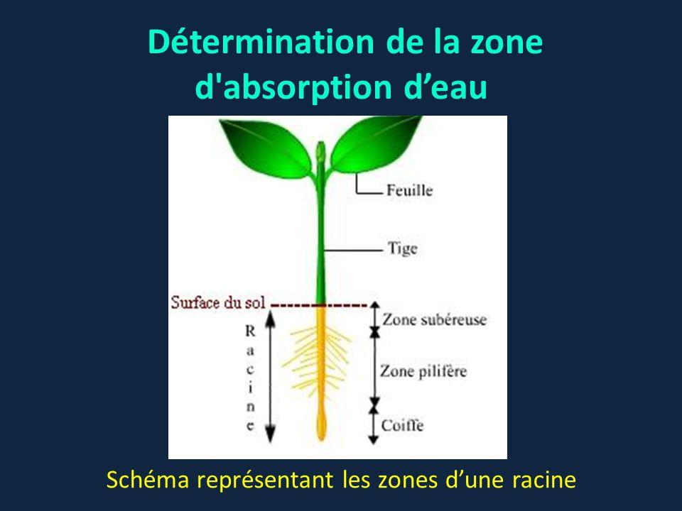 Détermination de la zone d absorption d'eau