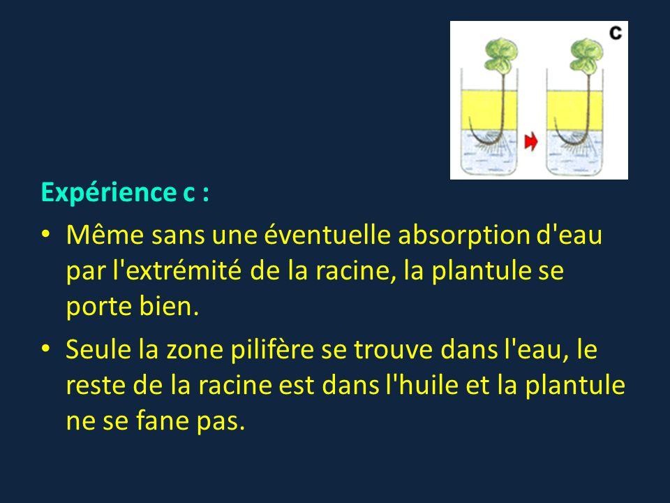 Expérience c : Même sans une éventuelle absorption d eau par l extrémité de la racine, la plantule se porte bien.