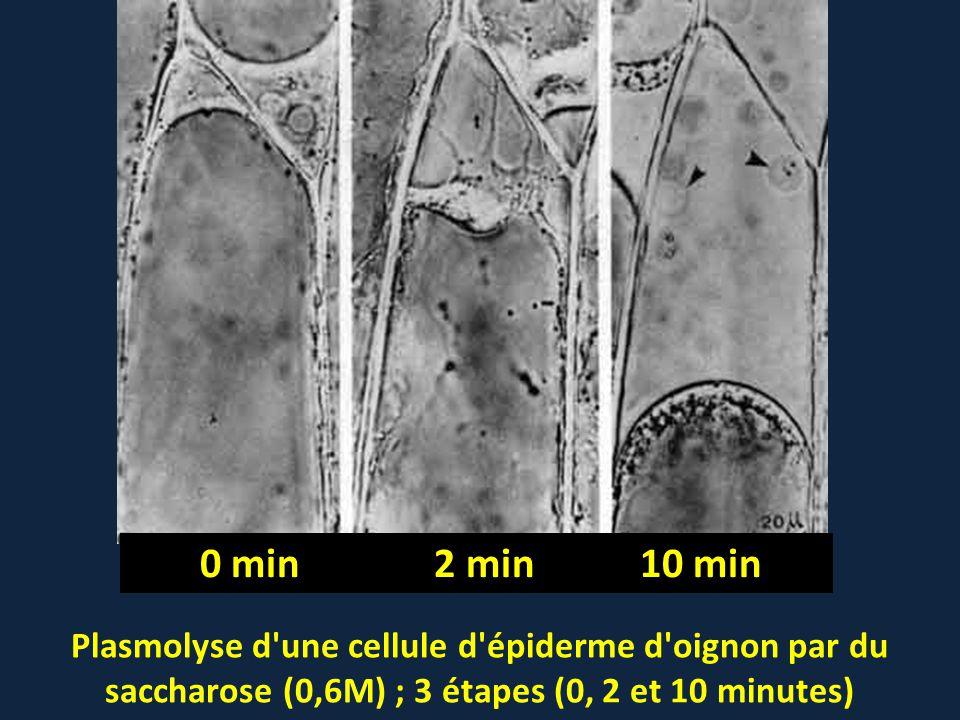 0 min 2 min 10 min Plasmolyse d une cellule d épiderme d oignon par du saccharose (0,6M) ; 3 étapes (0, 2 et 10 minutes)