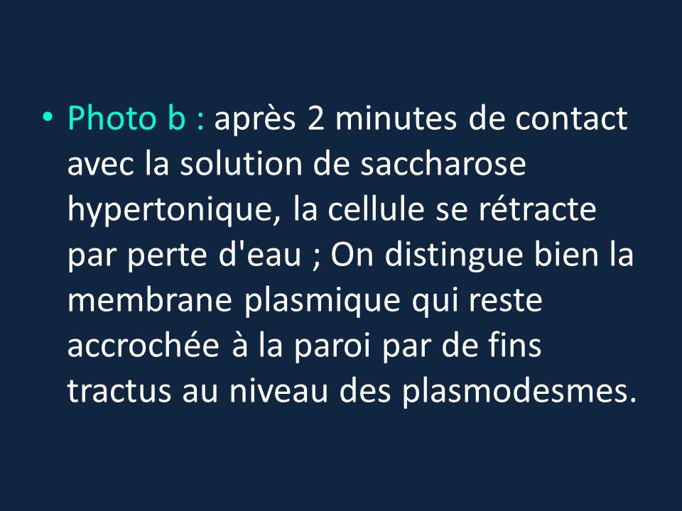 Photo b : après 2 minutes de contact avec la solution de saccharose hypertonique, la cellule se rétracte par perte d eau ; On distingue bien la membrane plasmique qui reste accrochée à la paroi par de fins tractus au niveau des plasmodesmes.