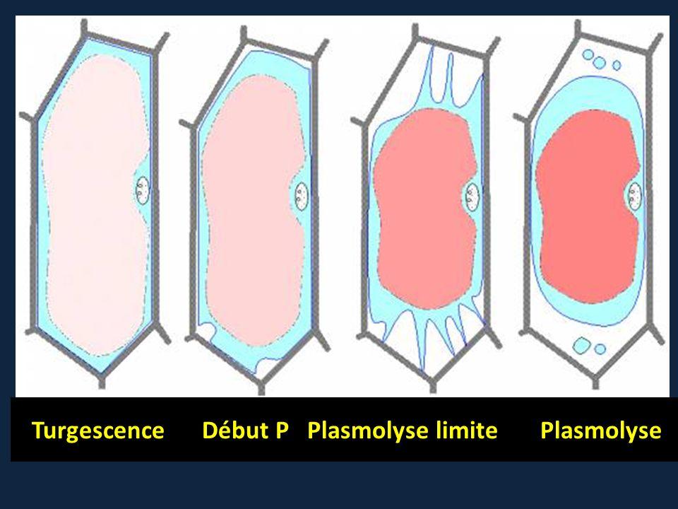 Turgescence Début P Plasmolyse limite Plasmolyse
