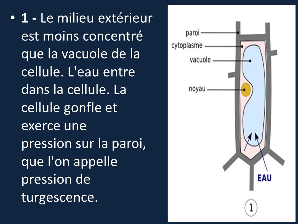 1 - Le milieu extérieur est moins concentré que la vacuole de la cellule.