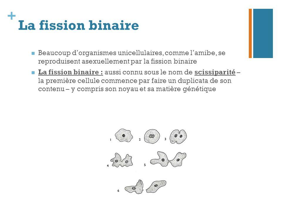La fission binaire Beaucoup d'organismes unicellulaires, comme l'amibe, se reproduisent asexuellement par la fission binaire.