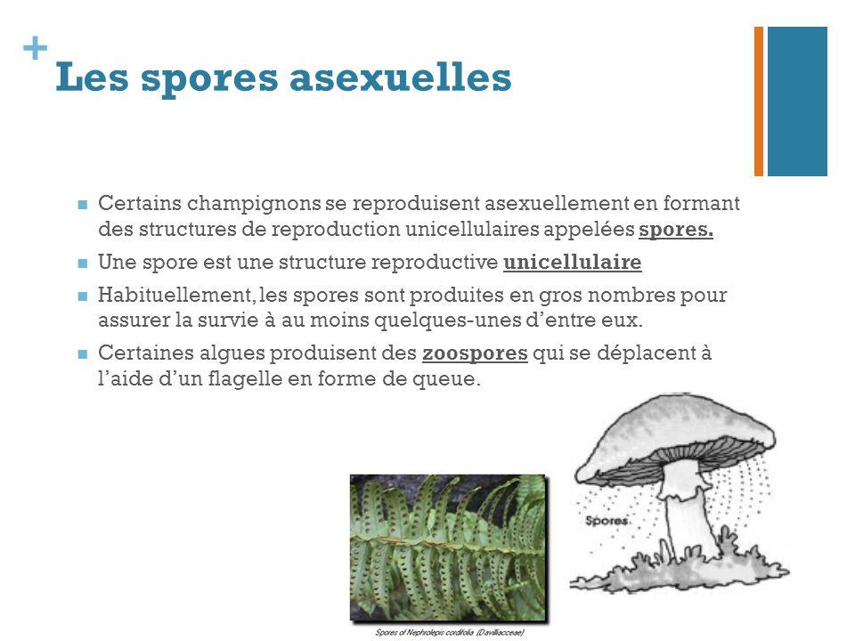 Les spores asexuelles Certains champignons se reproduisent asexuellement en formant des structures de reproduction unicellulaires appelées spores.