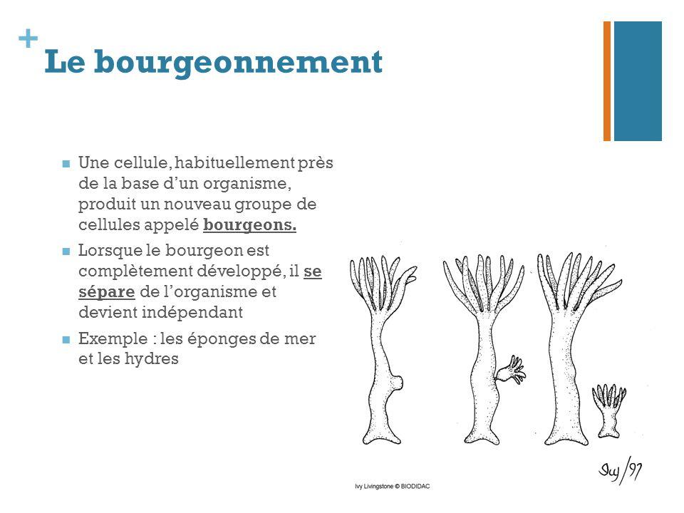 Le bourgeonnement Une cellule, habituellement près de la base d'un organisme, produit un nouveau groupe de cellules appelé bourgeons.