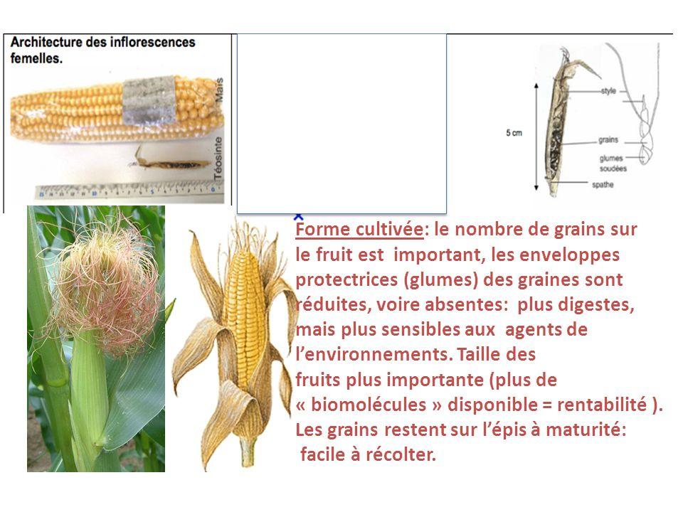 Forme cultivée: le nombre de grains sur