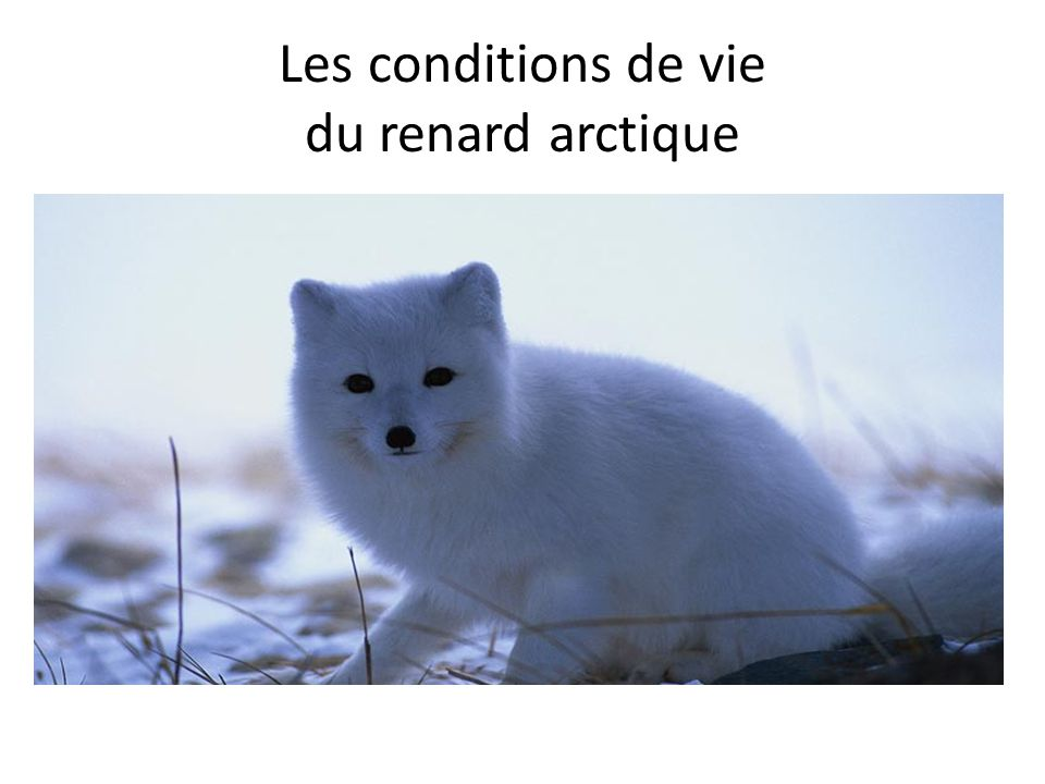 Les conditions de vie du renard arctique