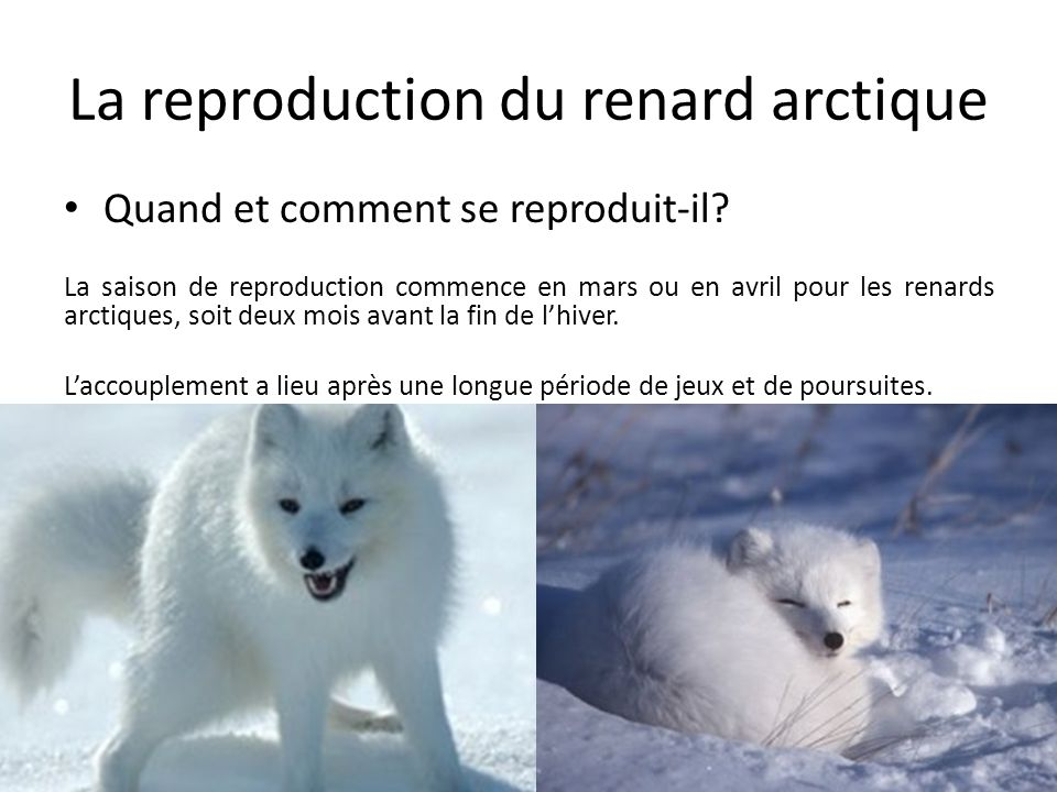 La reproduction du renard arctique