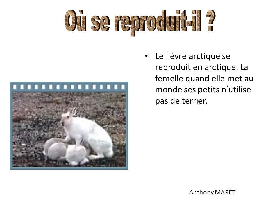 Où se reproduit-il Le lièvre arctique se reproduit en arctique. La femelle quand elle met au monde ses petits n'utilise pas de terrier.
