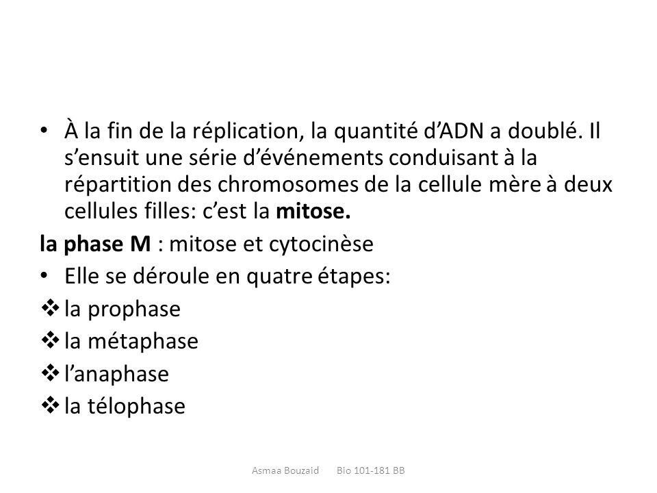 la phase M : mitose et cytocinèse Elle se déroule en quatre étapes: