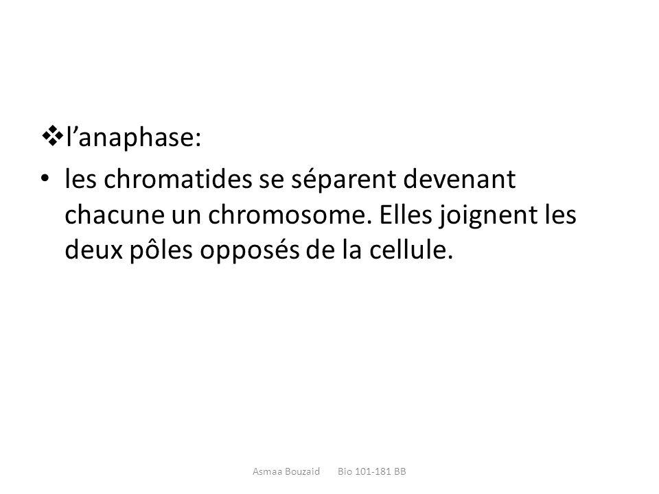 l'anaphase: les chromatides se séparent devenant chacune un chromosome. Elles joignent les deux pôles opposés de la cellule.