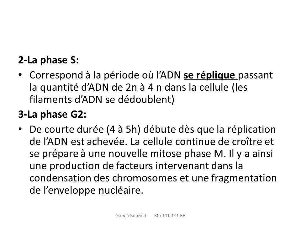 2-La phase S: Correspond à la période où l'ADN se réplique passant la quantité d'ADN de 2n à 4 n dans la cellule (les filaments d'ADN se dédoublent)