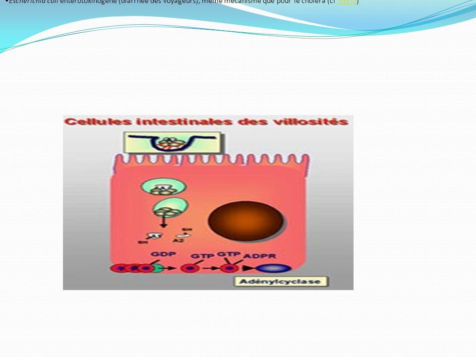 Escherichia coli entérotoxinogène (diarrhée des voyageurs), même mécanisme que pour le choléra (cf Vibrio)