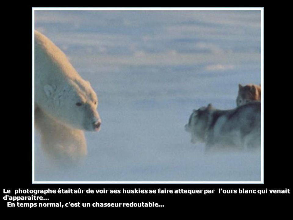 Le photographe était sûr de voir ses huskies se faire attaquer par l ours blanc qui venait d apparaître… En temps normal, c'est un chasseur redoutable…