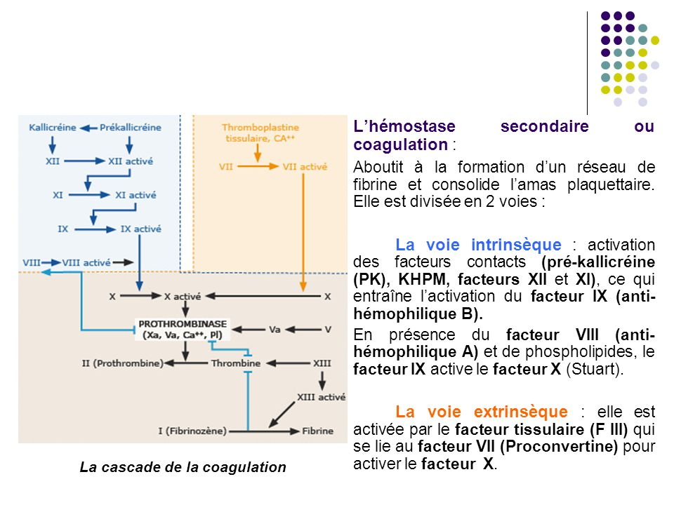 La cascade de la coagulation