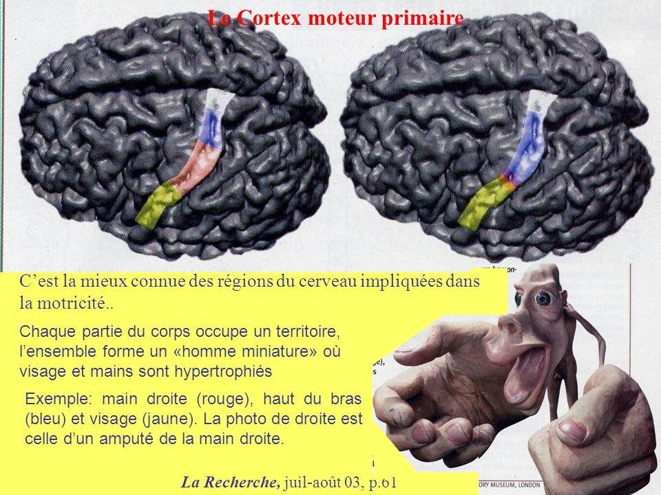 Le Cortex moteur primaire