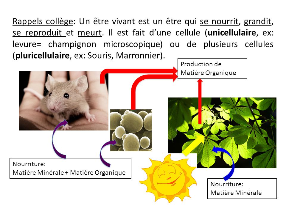 Rappels collège: Un être vivant est un être qui se nourrit, grandit, se reproduit et meurt. Il est fait d'une cellule (unicellulaire, ex: levure= champignon microscopique) ou de plusieurs cellules (pluricellulaire, ex: Souris, Marronnier).