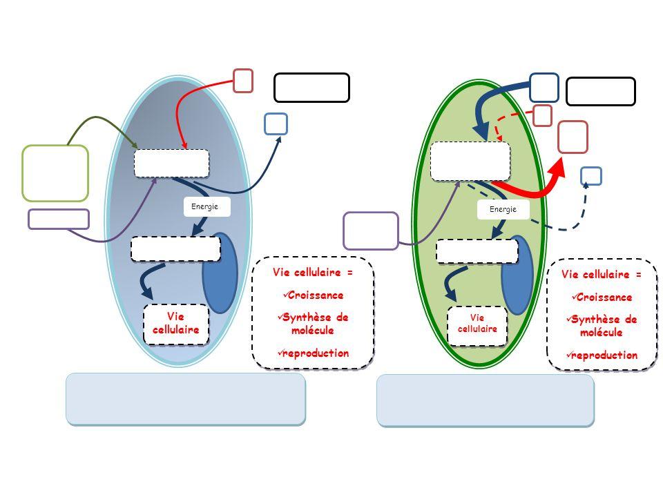 Vie cellulaire = Croissance Synthèse de molécule reproduction