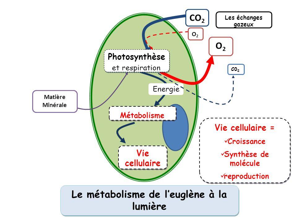Le métabolisme de l'euglène à la lumière