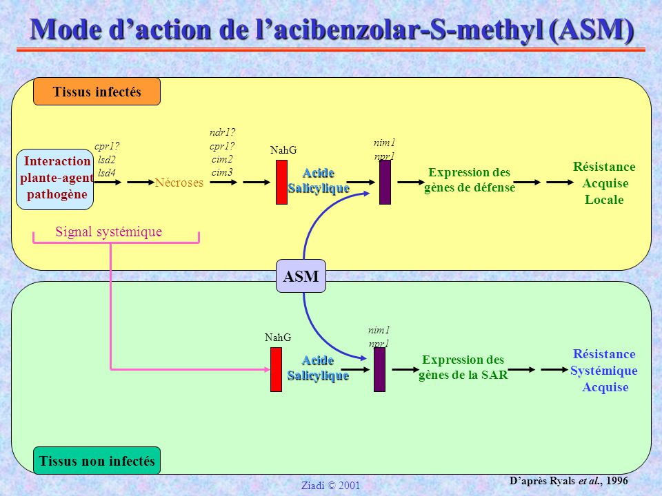 Mode d'action de l'acibenzolar-S-methyl (ASM)