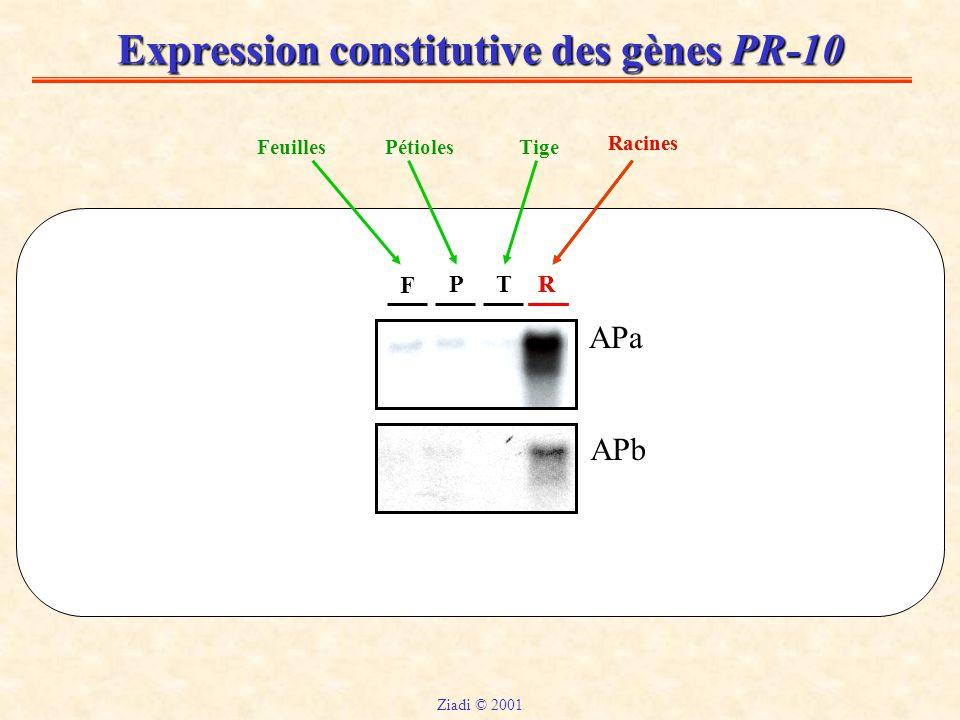 Expression constitutive des gènes PR-10