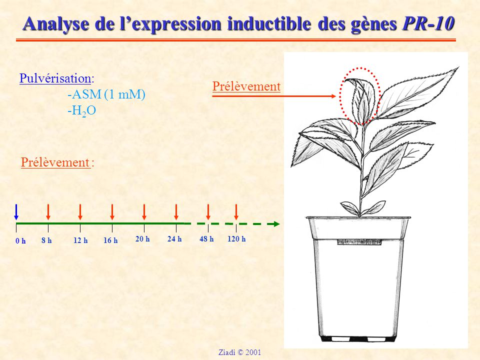Analyse de l'expression inductible des gènes PR-10