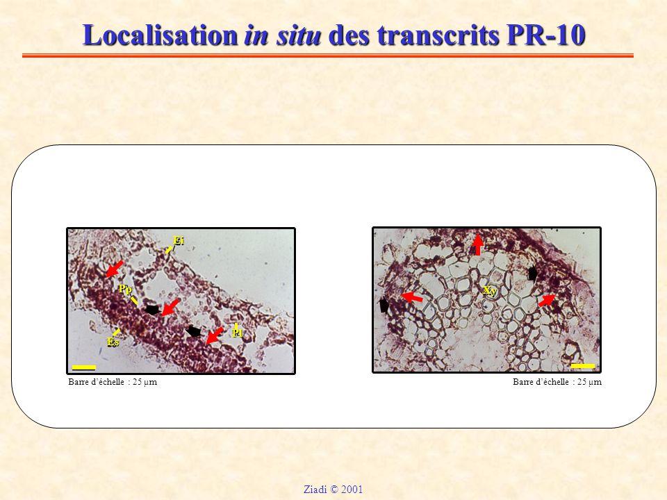 Localisation in situ des transcrits PR-10