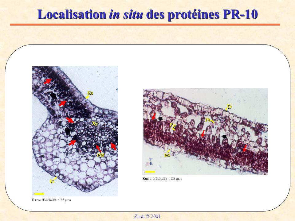Localisation in situ des protéines PR-10