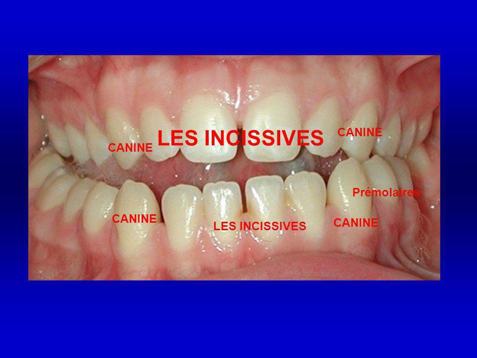 LES INCISSIVES CANINE CANINE Prémolaires CANINE CANINE LES INCISSIVES