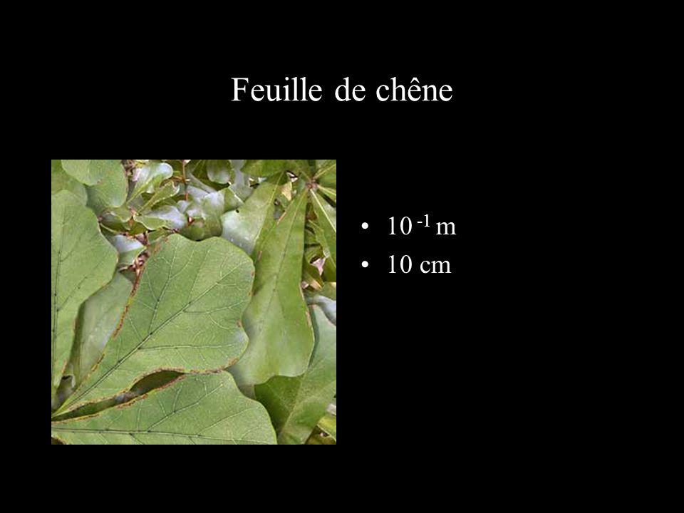 Feuille de chêne 10 -1 m 10 cm