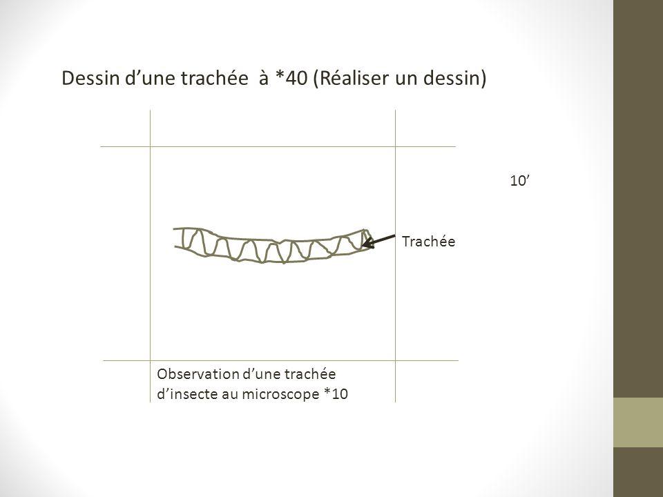 Dessin d'une trachée à *40 (Réaliser un dessin)