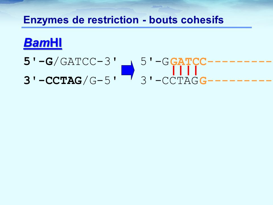 Enzymes de restriction - bouts cohesifs
