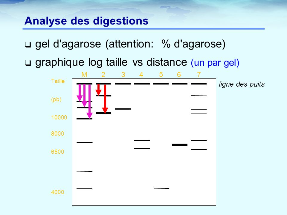 Analyse des digestions