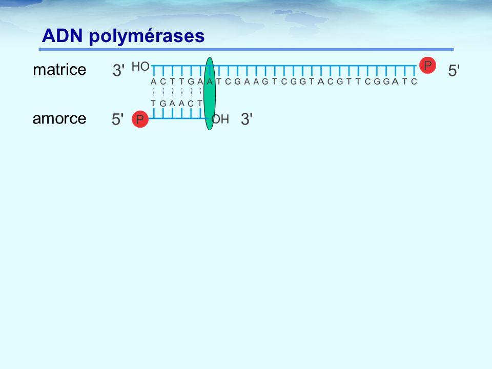 ADN polymérases matrice amorce