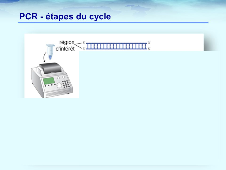 PCR - étapes du cycle