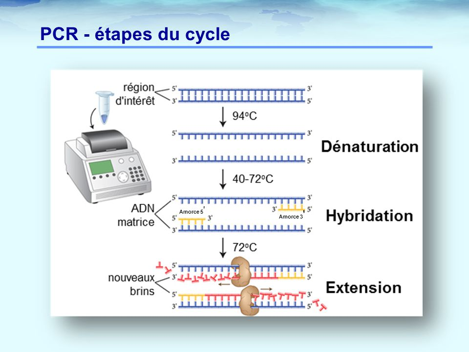 PCR - étapes du cycle Amorce 5 Amorce 3