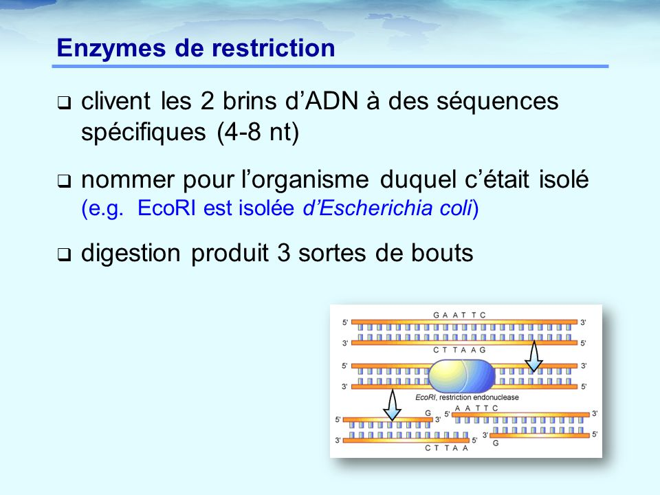 Enzymes de restriction