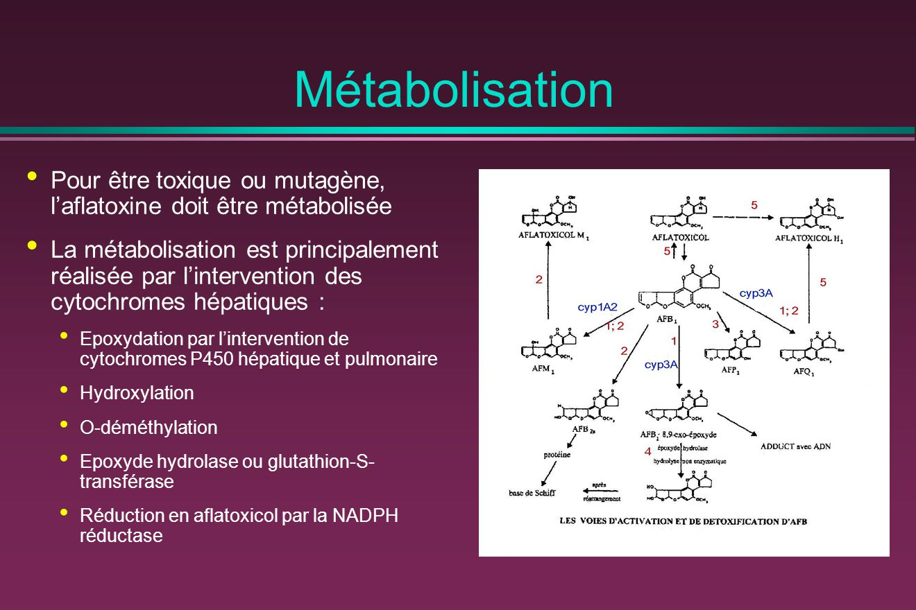 Métabolisation Pour être toxique ou mutagène, l'aflatoxine doit être métabolisée.