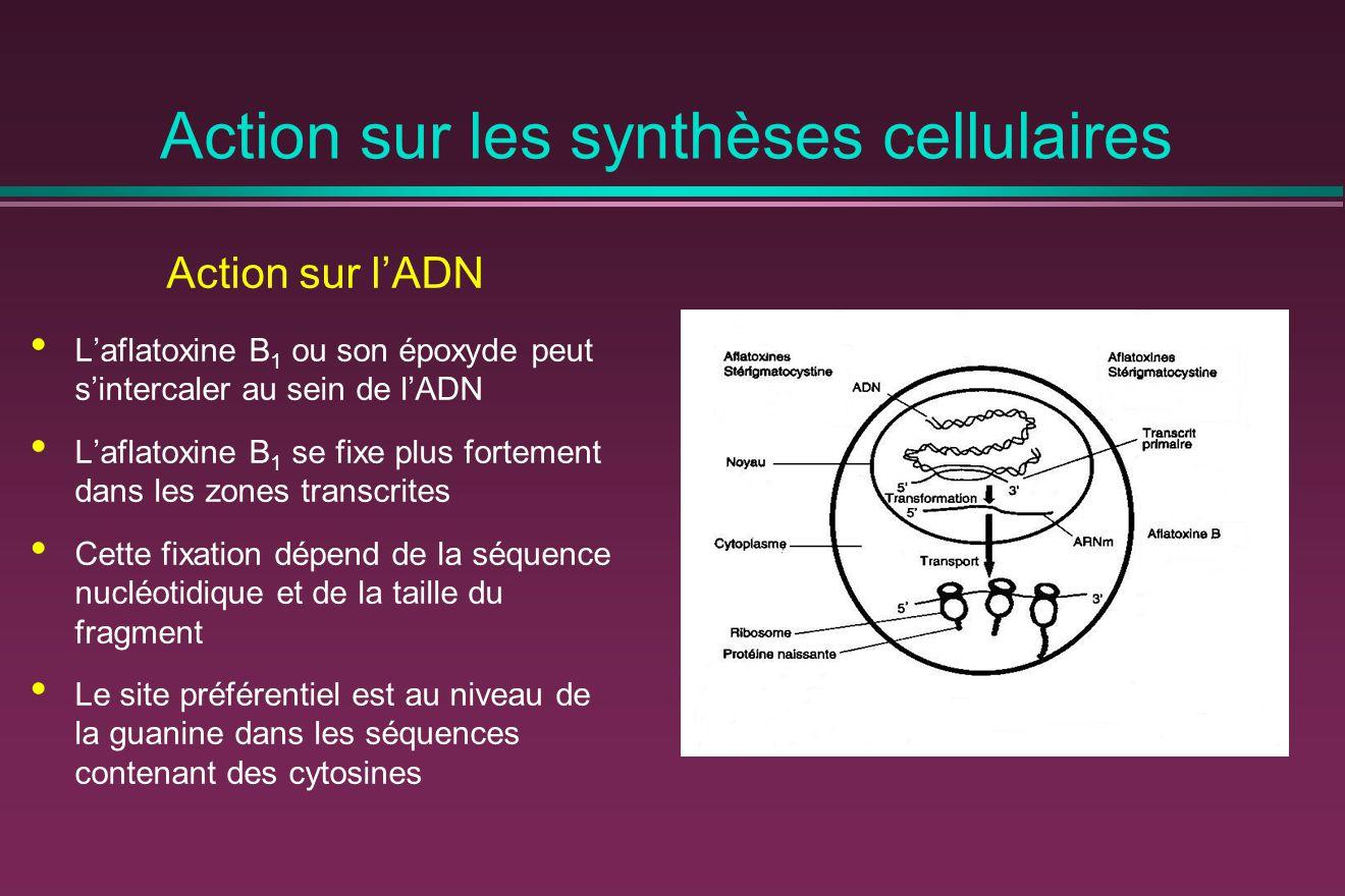 Action sur les synthèses cellulaires