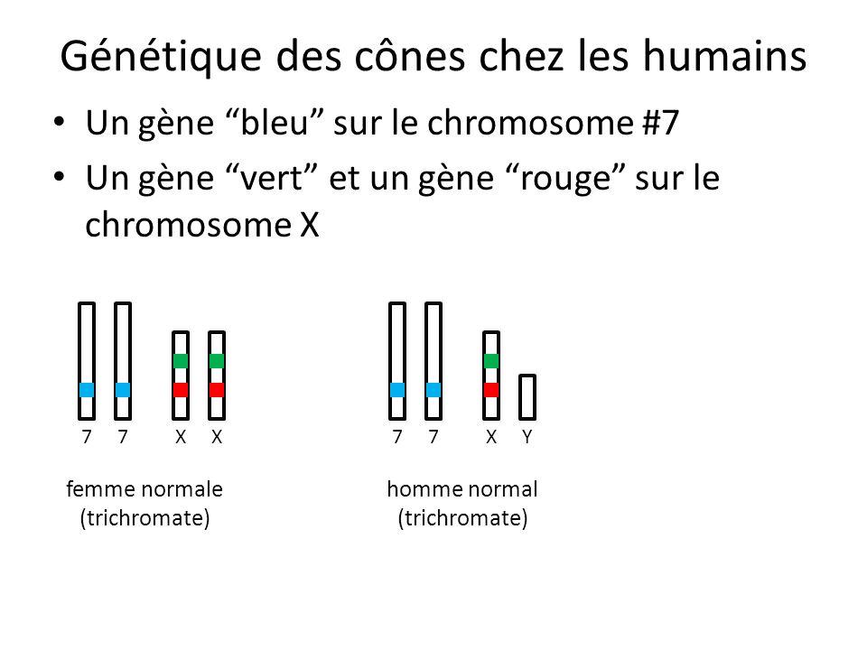 Génétique des cônes chez les humains