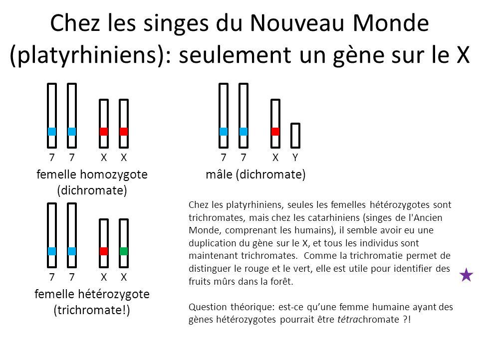 Chez les singes du Nouveau Monde (platyrhiniens): seulement un gène sur le X