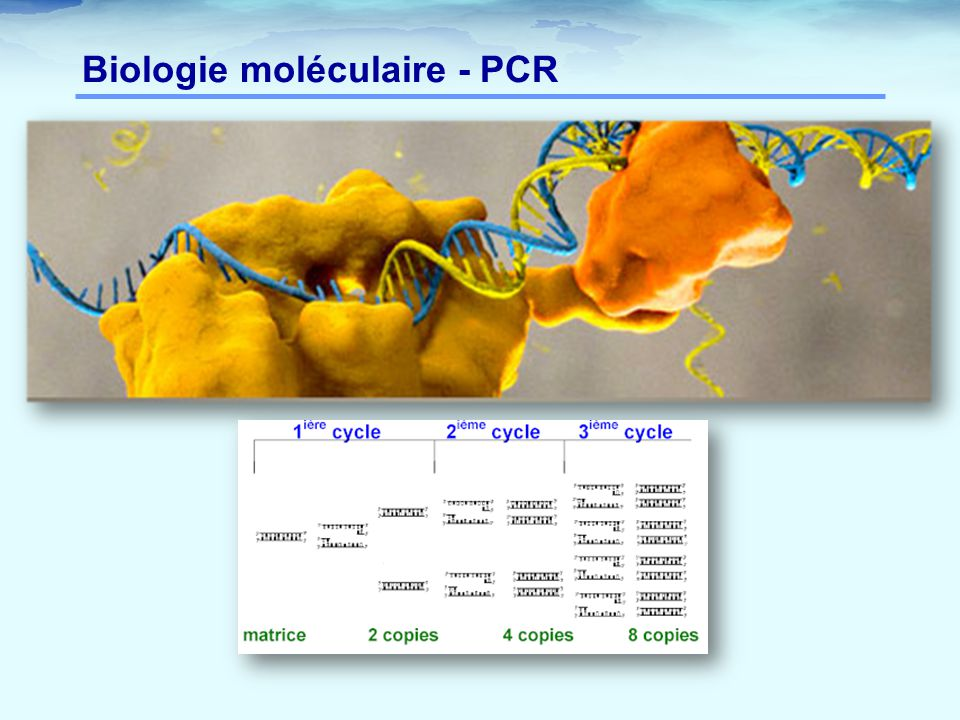 Biologie moléculaire - PCR