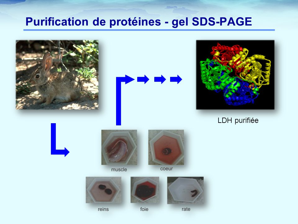 Purification de protéines - gel SDS-PAGE