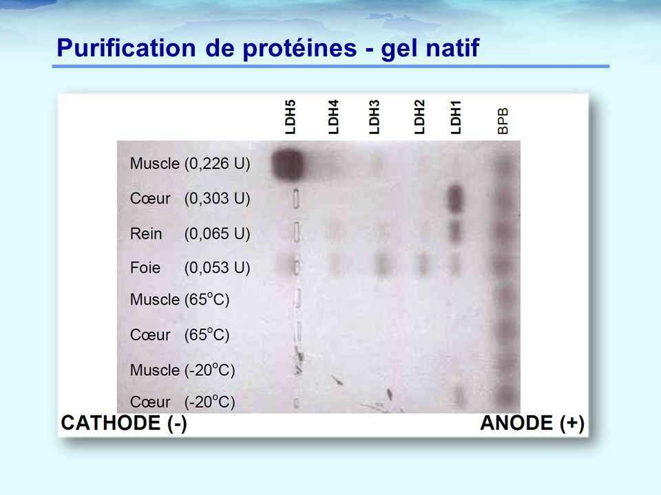 Purification de protéines - gel natif